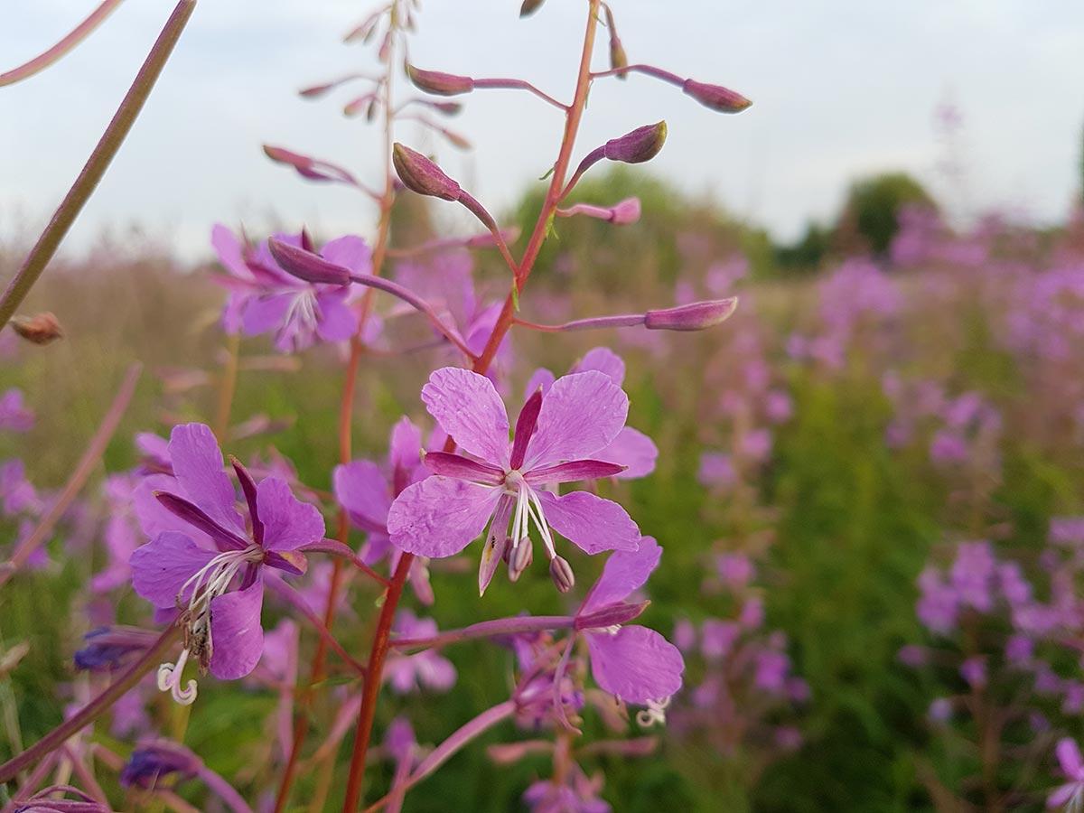 Трава кипрея узколистного лечебные свойства