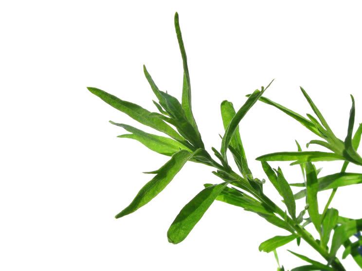 Тархун трава — Применение в медицине