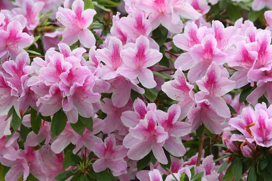Рододендрон Адамса (Саган Дайля) лечебные свойства и противопоказания